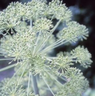angelica-planta-medicinal