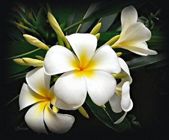 Resultado de imagen para con flores de jazmín
