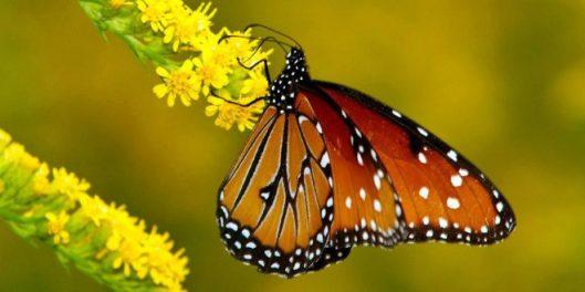 alas-de-la-mariposa-monarca