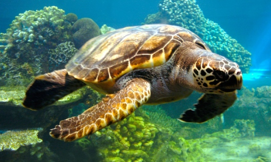 taxonomia-tortugas