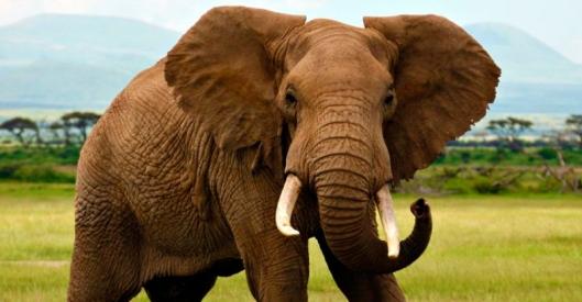 foto-elefante-africano