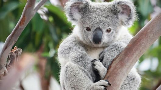 gau-koala